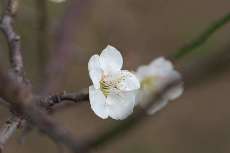 Flowering Plant Flower Plant Freshness Growth Beauty In Nature White Color Close-up Fragility Tree Petal Vulnerability  Flower Head Inflorescence Branch Selective Focus Blossom Springtime Nature No People Pollen Outdoors Plum Blossom Cherry Blossom