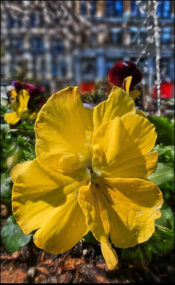 Pansy, they're in season, @ Union Sq. - 4/2/17 CanonpowershotG7X EyeEm Close-ups Nature EyeEmNewInHere Malephotographerofthemonth Selective Focus In Post Prod. The Journey Is The Destination Using Masking & Adjustments Velvet Texture Of Petals My Pov