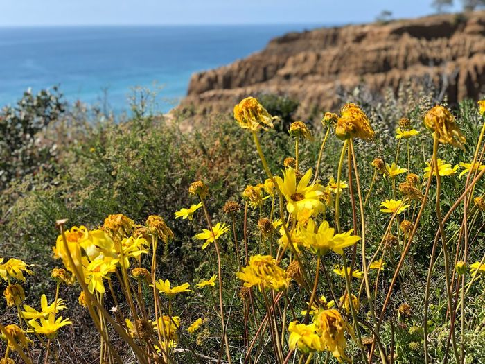 Torrey Pines State Beach Yellow Plant Flower Flowering Plant Beauty In Nature Growth Sea Day Nature Water Tranquil Scene Horizon Over Water Flower Head Vulnerability  Freshness Fragility Land Tranquility Sky No People