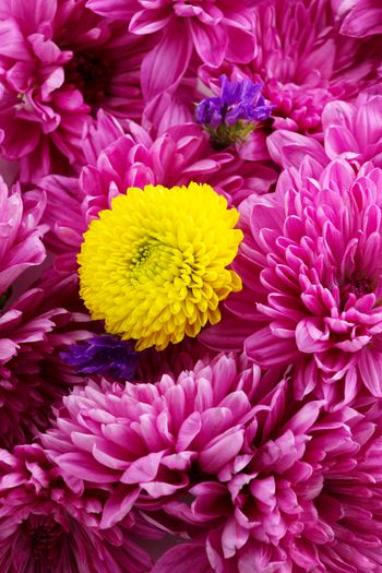 Beautiful bouquet Blossom Yellow Beautiful Nature Flower Head Flower Pink Color Petal Insect Close-up Plant Chrysanthemum In Bloom Blooming