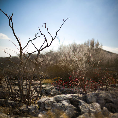 Bare tree and snow berry on eroded rock formarion, narrow focus