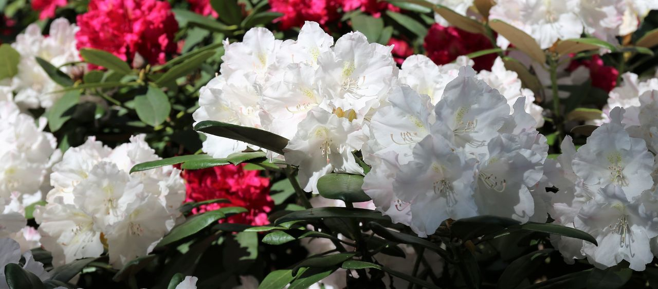 White and Pink Rhododendron with Light and Shade White And Pink Flowers White And Pink Blossoms White Rhododendron Beauty In Nature Blooming Close-up Day Flower Flower Head Fragility Freshness Growth Light And Shade Light And Shadow Light And Shadow Flowers Nature No People Outdoors Petal Plant White And Pink Wedding White Color