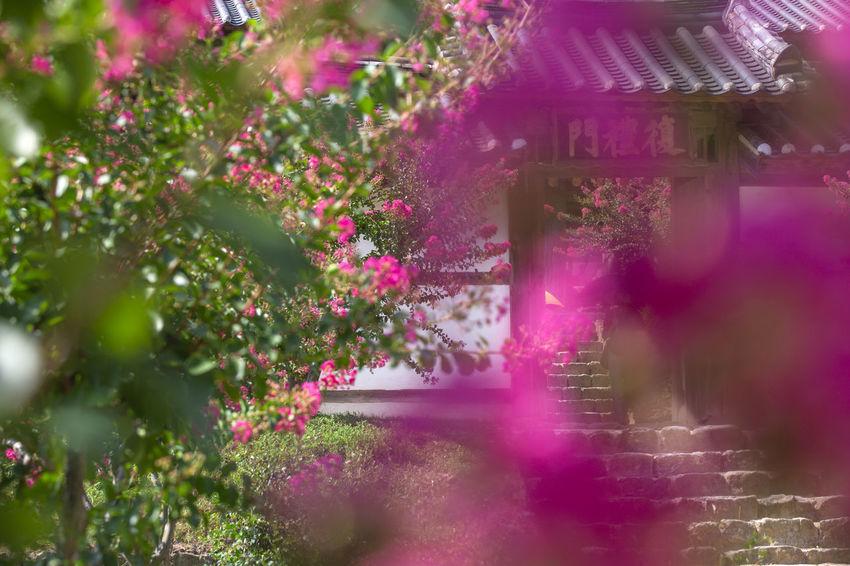 병산서원 Korea Flower Festival 2018 Andong,korea EyeEm Selects EyeEm Best Shots Flower Tree Water Pink Color Flowerbed Purple Plant In Bloom Flowering Plant Blooming Magenta