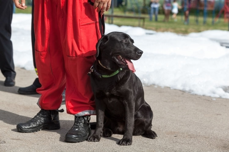 Assistance dog. Black Labrador Retriever. Canine Pet Trained Border Control  Detection Dogs Drug K-9 Police Officer Criminal Demonstration Dog Explosives German Shepherd Dog  Guard Dog K9 Law Enforcement Narcotic Searching Smelling Sniffing Terrorism Tracking Working Dog