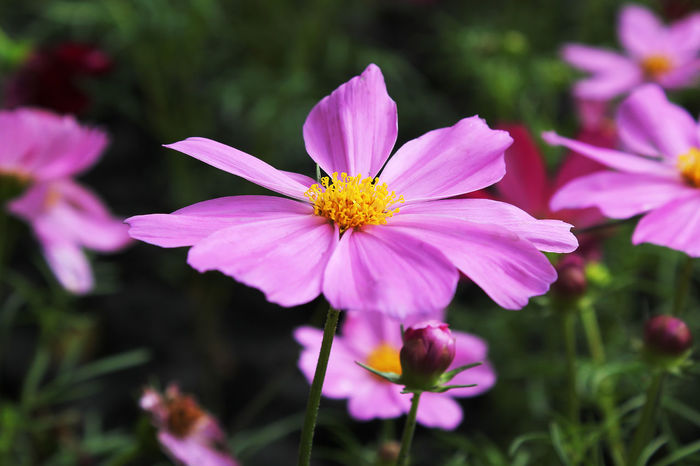 Sulfur Cosmos Pink is blooming. Sulfur Cosmos Pink Beauty In Nature Close-up Cosmos Flower Cosmos Pink Day Flower Flower Head Flowering Plant Focus On Foreground Fragility Freshness Growth Inflorescence Nature No People Outdoors Petal Pink Color Plant Pollen Purple Sulfur Cosmos Vulnerability