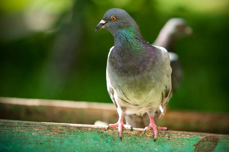 Close-Up Of Pigeons On Railing