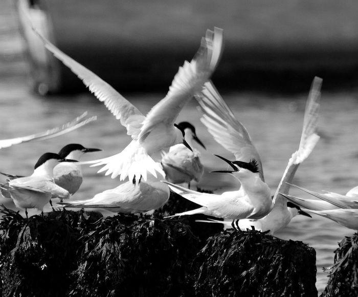 Sterne  Oiseaux Noir Et Blanc Mimizan-Plage