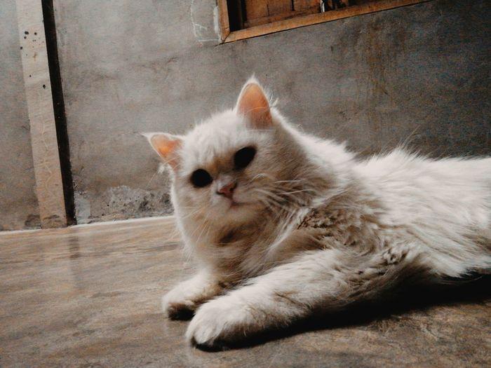 Pets Kitten Portrait Feline Sitting Domestic Cat Looking At Camera Whisker Cute Lying Down
