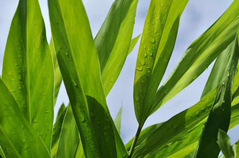 Green Leaf Green Color Growth Plant Leaf Plant Part Close-up Nature Beauty In Nature No People Day Freshness Sky Tranquility Outdoors Land Agriculture Sunlight Field Clear Sky Food Palm Leaf