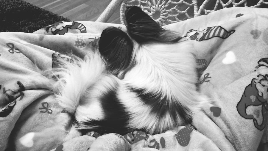 Dog Dog Lover Lucy Papillon Relaxing Hanging Out Enjoying Life