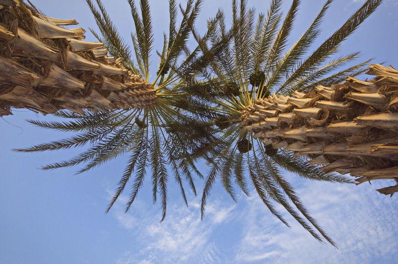 palm tree Date