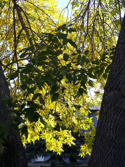 Tree Branch Growth Yellow Nature Scenics Tranquility Beauty In Nature Day Tranquil Scene Outdoors Green Color Non-urban Scene No People Spruce Grove, Alberta Samsung Galaxy S5 Neo Bright Contrast Leaves End Of Summer Yellow Green Contrast Branches