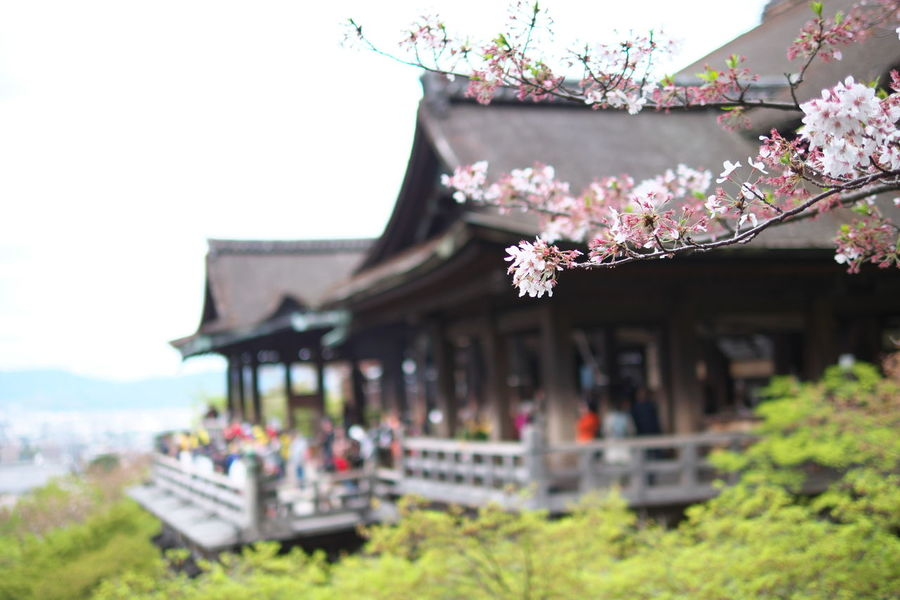 Architecture Built Structure Culture Day Flower Japan Kioto Kyoto,japan Outdoors Pink Color Plant Sky Spirituality Temple - Building Tourism Travel Destinations 京都