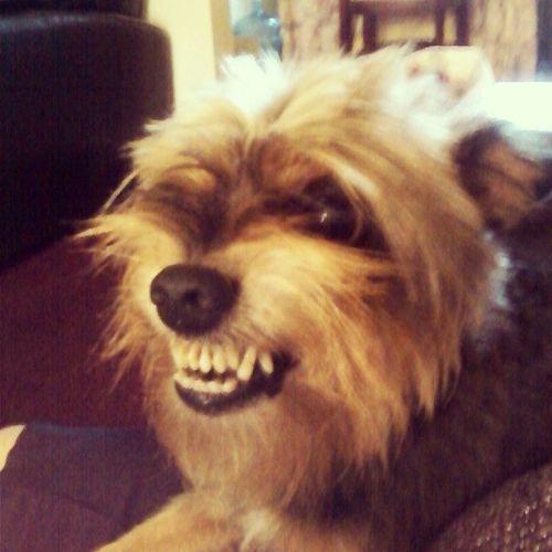 Westcoastdogs Ladogs Calidogs lildogs Americandogs terriermixdoggy Mighty Bobbyboy !!! Lol