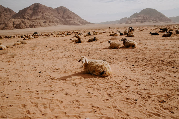 Flock of sheep on sand