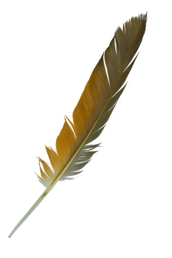 Close-up of feather against white background