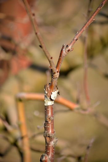 grafted tree Agriculture Grafted Trees Growth Skill  Apple Tree Cherry Tree Cleft Close-up Day Focus On Foreground Grafting Nature No People Orchard Outdoors Twig
