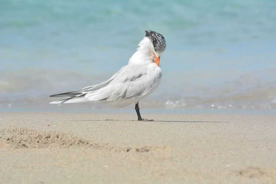 Royal Tern primping and preening. Full Length Side View Bird Seabirds Seashore Royal Tern Primping Preening Birds Preening Florida Wildlife Florida Nature EyeEm Selects Bird Beach One Animal Sea Animal Wildlife Sand Animals In The Wild Nature Outdoors Water No People Animal Themes Close-up Day Beauty In Nature Seagull