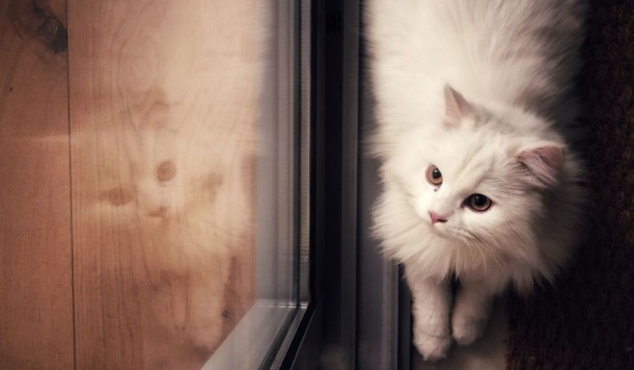 Kitten Pets Portrait Feline Domestic Cat Looking At Camera Siamese Cat Greeting Curtain Cute Persian Cat  Sliding Door Eye Animal Eye Horn Rimmed Glasses Window Sill Animal Hair Ginger Cat Animal Head  The Portraitist - 2018 EyeEm Awards