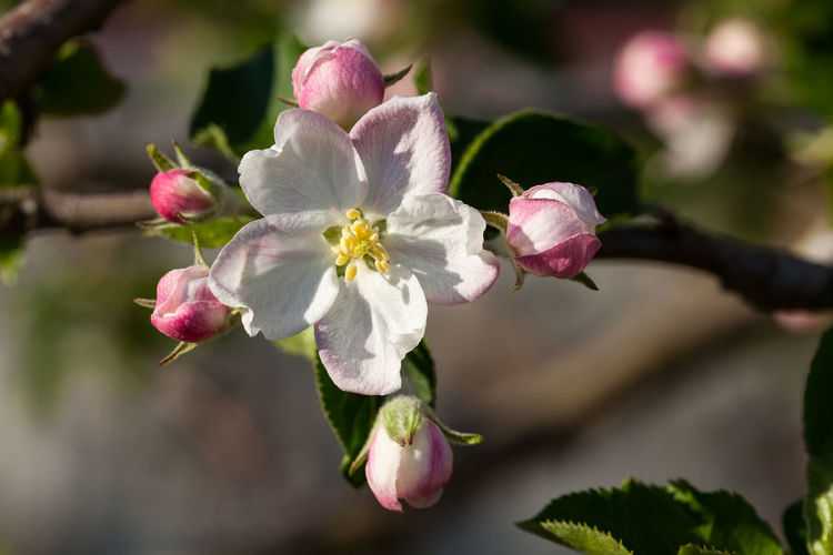 Apple Blossom Beauty In Nature Blossom Flower Flower Head Flowering Plant Focus On Foreground Fragility Freshness Growth Petal Springtime Tree Vulnerability
