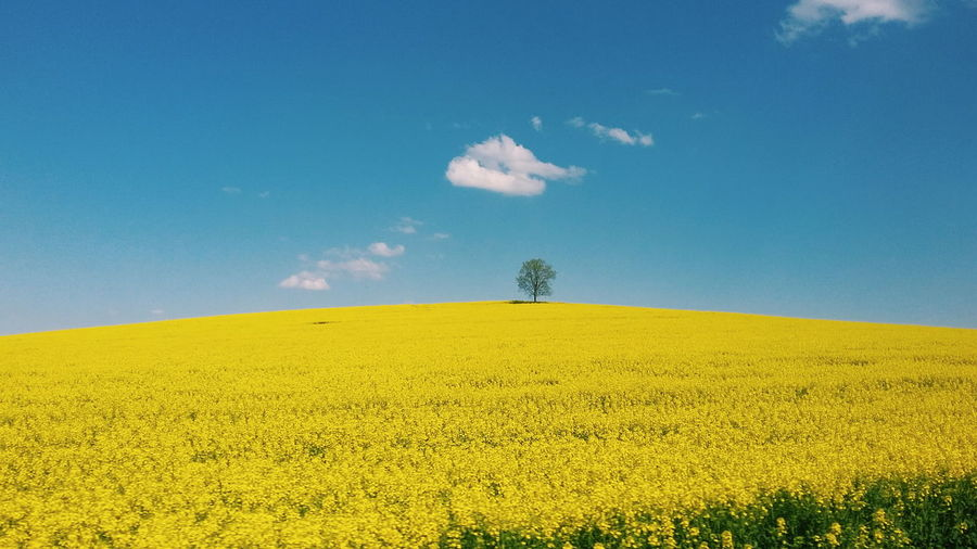 Field Rural Scene Rural Colorful Nature Sky Yellow Summer Mustard Plant Cultivated Single Tree Crop  In Bloom Plant Life Patchwork Landscape Uncultivated