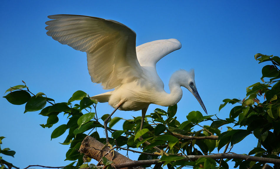 Egrets Animal Themes Animals In The Wild Beauty In Nature Bird Clear Sky Close-up Day Egret Egret In Lake Egret With Ocean Background Egret_in_flight Flying Leaf Low Angle View Nature No People One Animal Outdoors Sky Spread Wings Tree