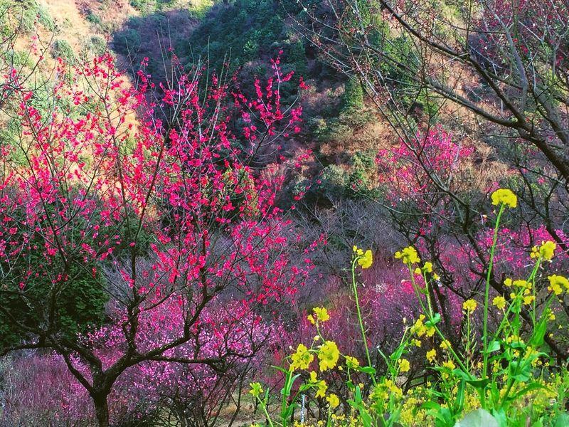 立春 花 Flower Beautiful 立春 梅 菜の花 Ume 風景