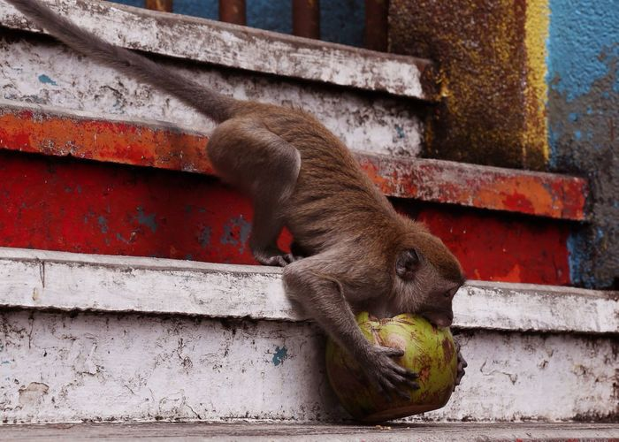 Monkey with coconut on stairs