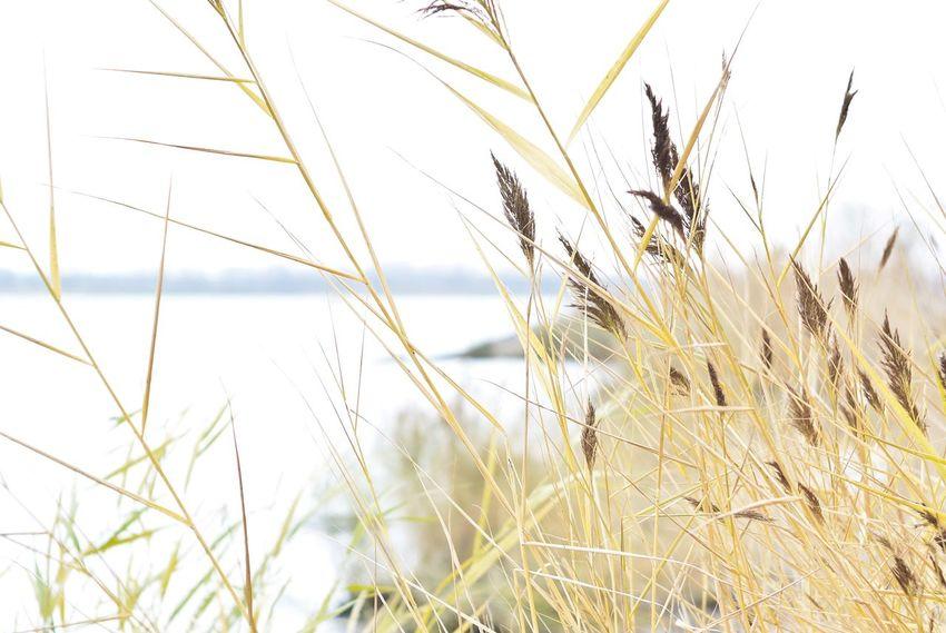 тростник трава Grass Nature Outdoors Beauty In Nature High Light River Volga берег реки Волга