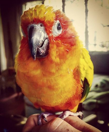 🐦 Chickenbirdie Sunconure Glaring Birdy Urban Indie Alternative Putabirdonit Portlandish