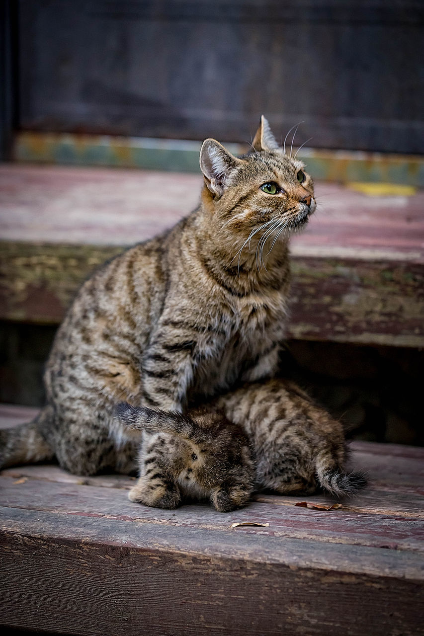 mammal, animal, animal themes, pets, feline, domestic, cat, domestic animals, one animal, domestic cat, vertebrate, relaxation, no people, focus on foreground, wood - material, sitting, looking, looking away, whisker, close-up, tabby, animal family