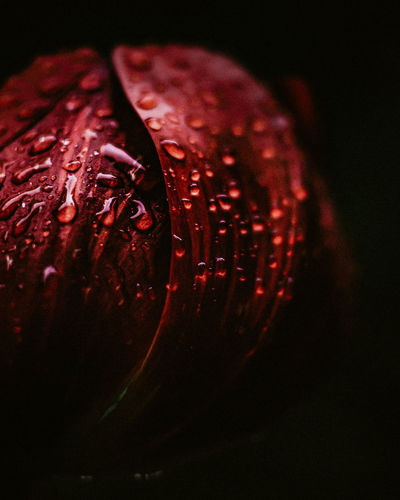 Close-up of wet red flowers against black background
