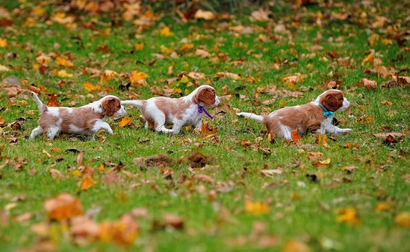 Leaders and Followers Cavalier King Charles Spaniel Ckcs Puppy Cavalier Cavalierkingcharles Enjoying Life
