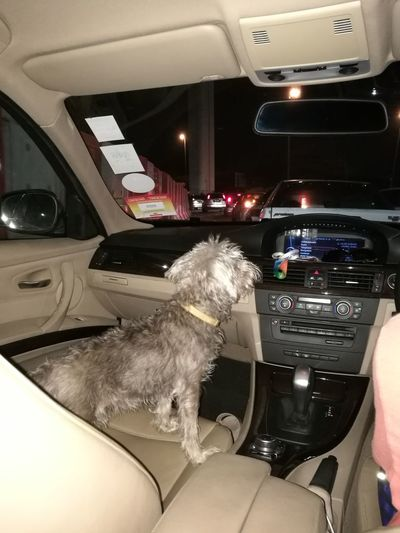Taking our pet for a drive Car One Animal Transportation Sitting Indoors  Dog Pets Mammal Close-up Animal Themes Schnauzer Schnauzerlife Schnauzers