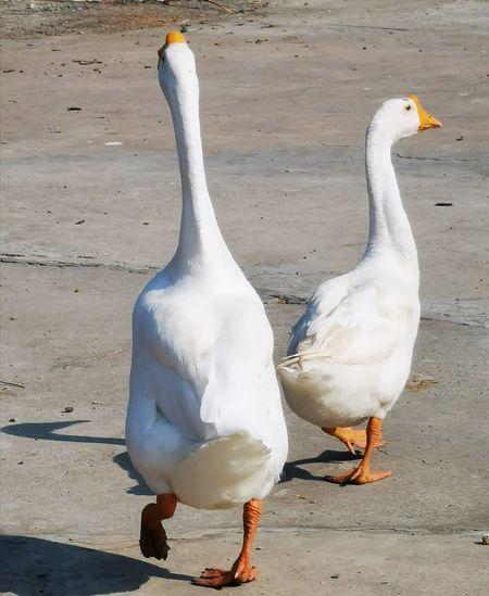 Duck Ducks Bird