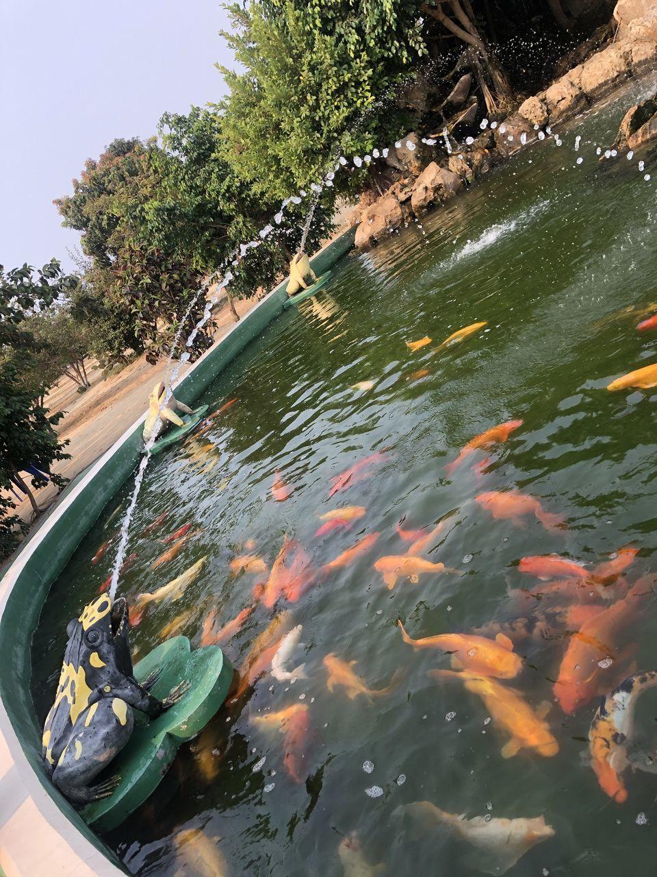 HIGH ANGLE VIEW OF KOI FISH SWIMMING IN LAKE