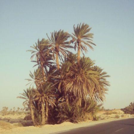 Palmiers Palmtree Kebili Tunisie Tunisia