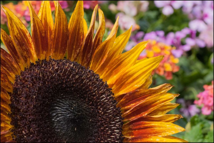 DT _ Sunflower @ Union Sq. Mkt. - 7/5/17 EyeEm Macro Collection EyeEmNewHere Lantana Flowers In The Background Malephotographerofthemonth My Unique Style Pollinating Flowers W/ My Camera The Purist (no Edit, No Filter) The Street Photographer - 2017 EyeEm Awards