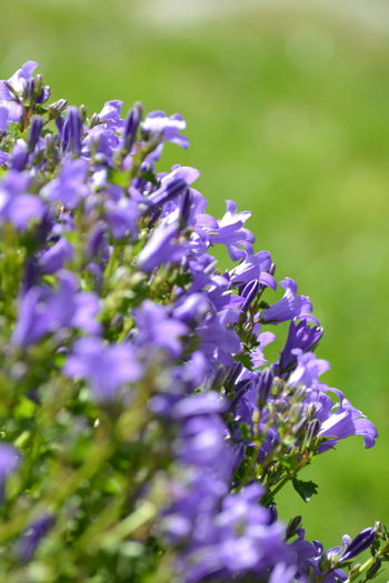 Blue Flower Flower Head Perfume Scented Purple Summer Blossom Close-up Plant Flowering Plant Plant Life In Bloom Lilac Blooming