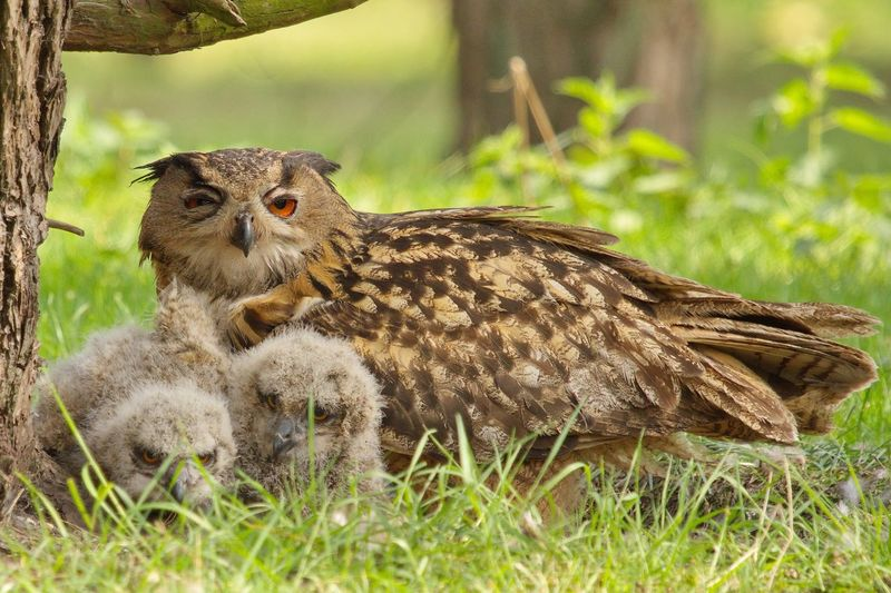 Eurasian Eagle-Owl With Young Birds On Field