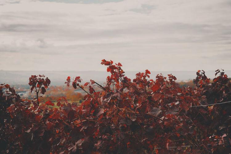 Red Wine Sky