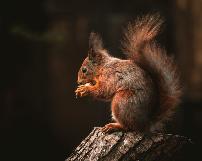 Close-up of a red squirrel sitting on wood