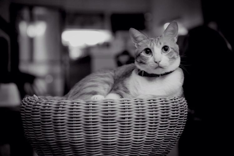 Close-up of cat resting in wicker basket