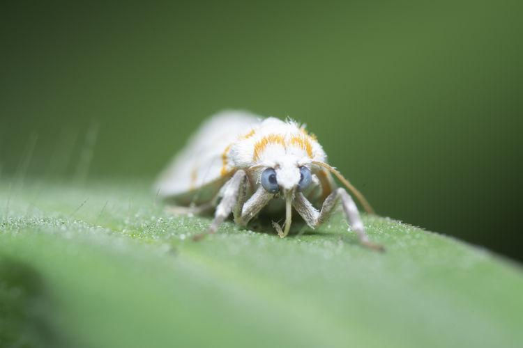 Cyana flavalba moth