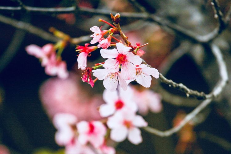 Apple Blossoms Plant Flower Flowering Plant Beauty In Nature Branch Close-up Freshness Tree Fragility Growth Focus On Foreground Vulnerability  Nature No People Day Blossom Springtime Outdoors Selective Focus Pink Color