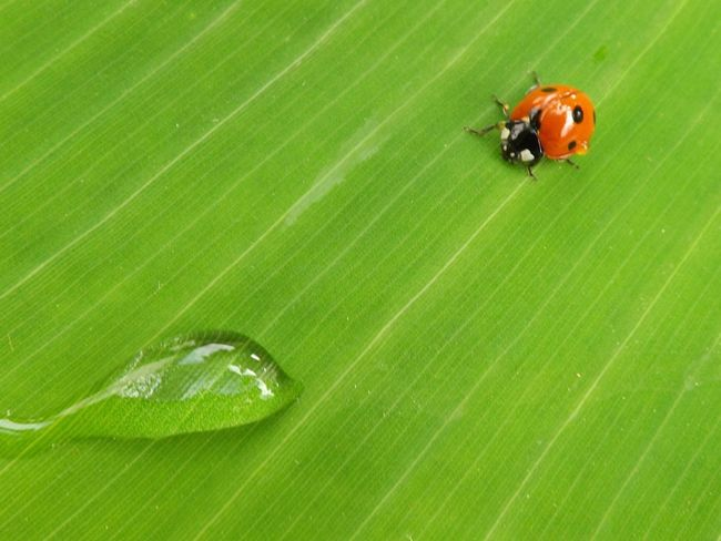 Leaf Animal Themes Insect Animals In The Wild Green Color Ladybug Coccinelle One Animal Animal Wildlife Nature Outdoors No People Day Close-up Plant Beauty In Nature Banana Leaf Fragility Freshness