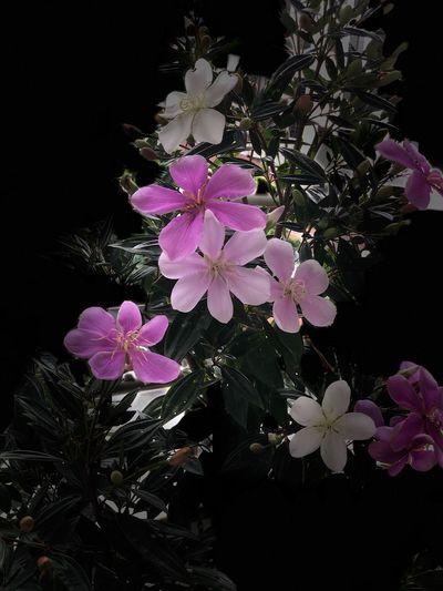 Manacá Pink Flower Pink Color Beautiful Beauty Love ♥ Flowers Manaca Garden Flowers Perfume Flower Perfume