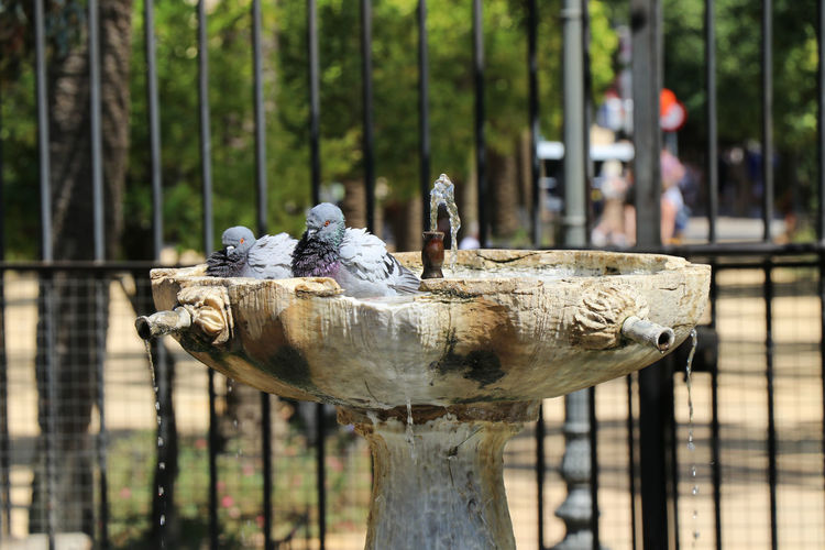 Birds bathing in a fountain Focus On Foreground Day Tree Art And Craft No People Metal Representation Close-up Sculpture Boundary Creativity Outdoors Barrier Nature Fence Wood - Material Plant Animal Protection Animal Wildlife