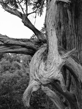 Twisted Arm Tree Juniper Deceptively Simple