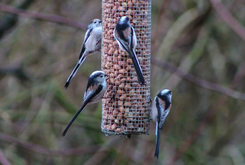 Animal Themes Animal Wildlife Animals In The Wild Bird Bird Feeder Close-up Day Focus On Foreground Great Tit Long Tailed British Bird Nature No People One Animal Outdoors Perching
